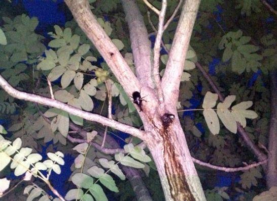 河川敷のオニグルミの樹液を吸うカブトムシのオス