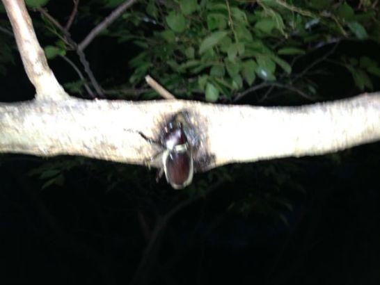 オニグルミの樹液を吸うカブトムシのオス