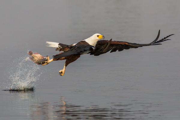 African fish eagle fishing, Chobe