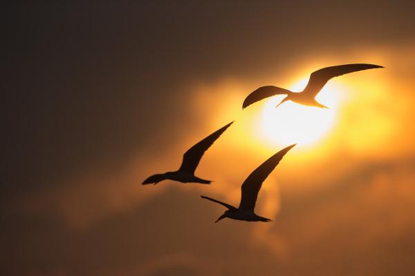 African skimmers in flight, Chobe