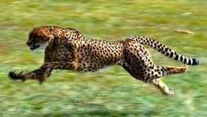 Top 10 animais mais rápidos do mundo