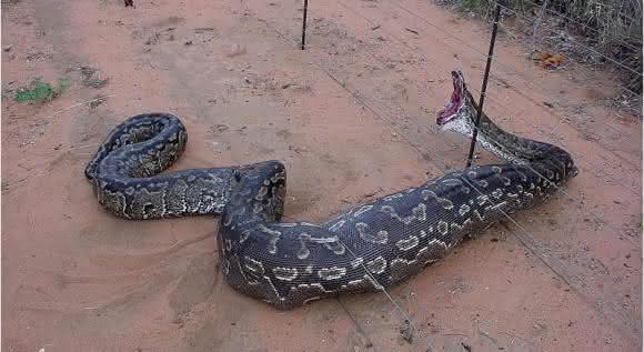 cobra piton
