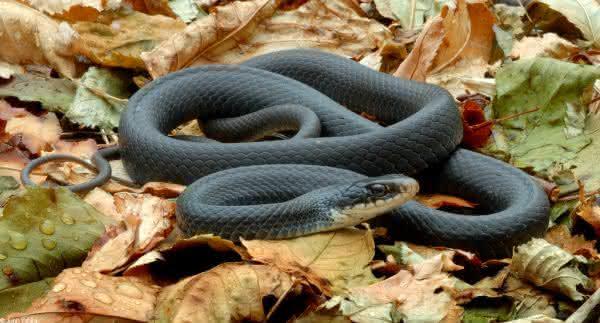 Mamba preta entre as cobras mais venenosas do mundo