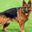 Top 10 raças de cães mais inteligentes do mundo