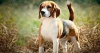 Top 10 raças de cães mais dóceis do mundo