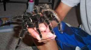 Top 10 maiores espécies de aranhas do mundo
