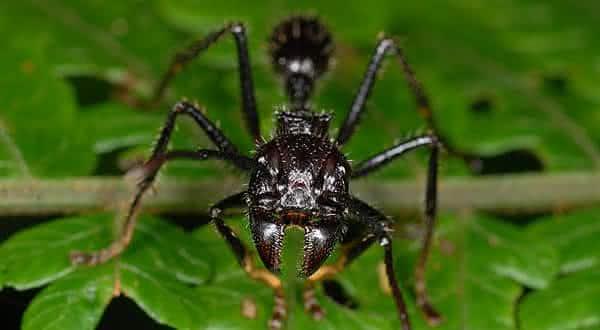 formiga cabo verde entre os insetos mais perigosos do mundo