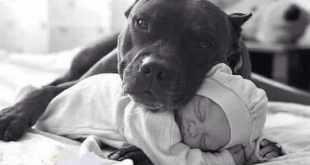 Top 10 fatos equivocados sobre pitbulls