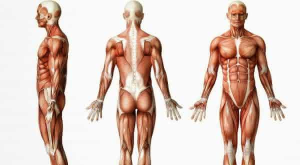 40 porcento fatos interessantes sobre o sistema muscular