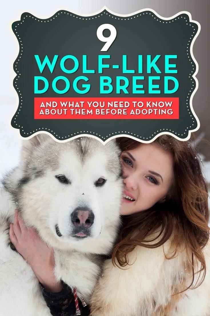 Fullsize Of Dog That Looks Like A Wolf