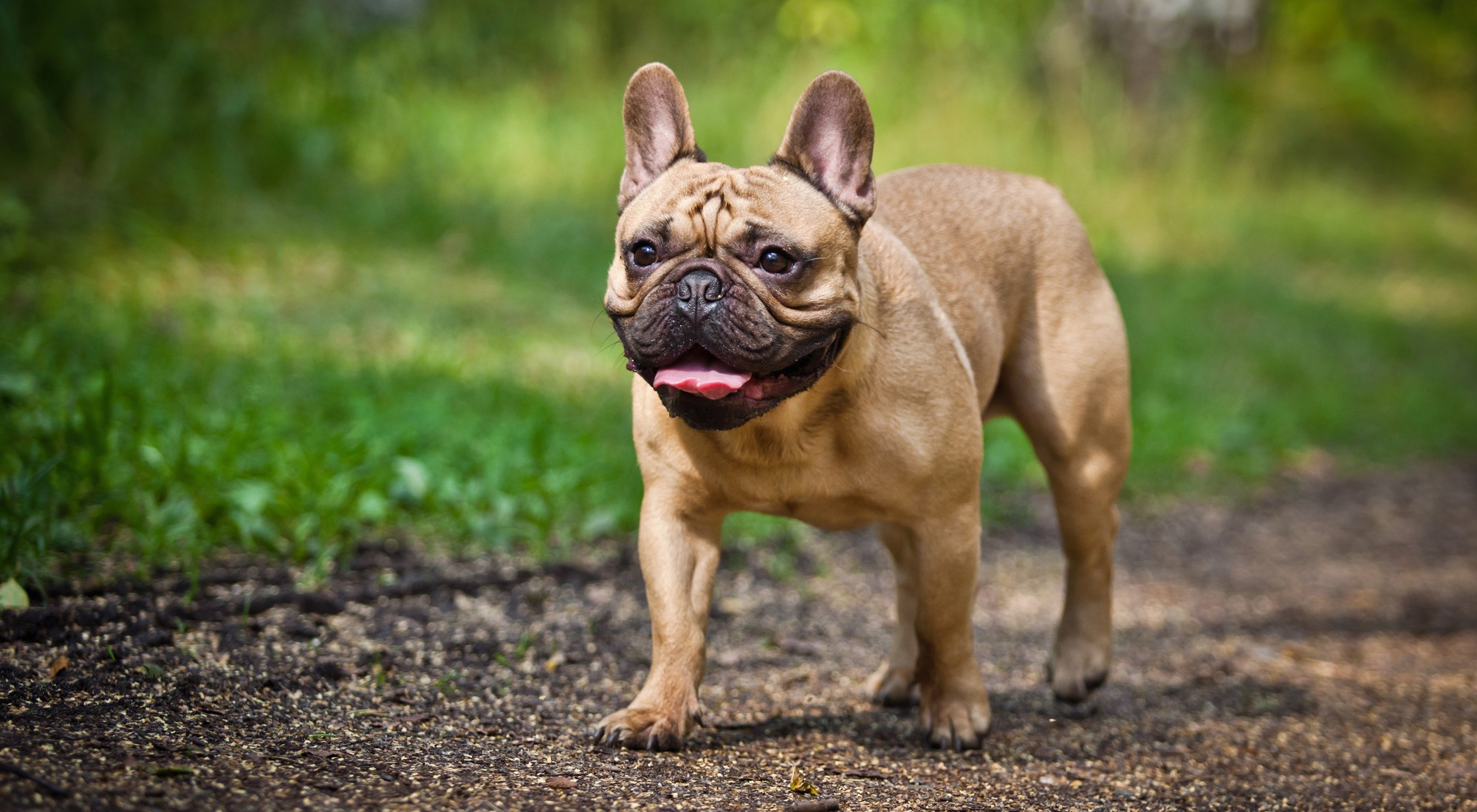 Precious Care Advice French Dog Breeds Starting About Us French Bulldog Breed History S French Dog Breeds Starting F bark post French Dog Breeds