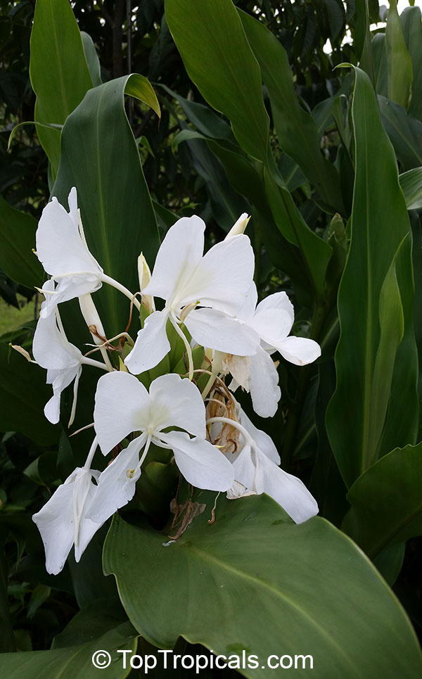List Of Fall Flowers Hedychium Coronarium, White Ginger, Butterfly Ginger Lily