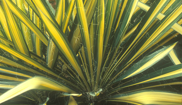 Yucca filimentosa 'Color Guard'