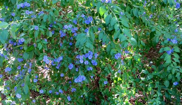 Blue Potato Bush (Solanum rantonnei), Royal Botanic Garden, Melbourne