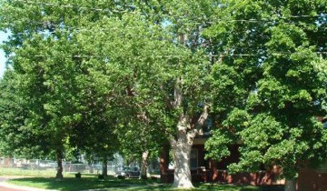 ash-tree-picture