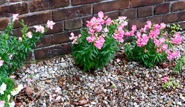 growing thru the gravel snapdragons