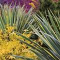 Paul's Plant Picks: Yucca and Chamaecyparis