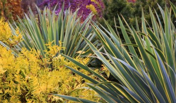 Paul's Plant Picks: Yucca and Chamaecyparis