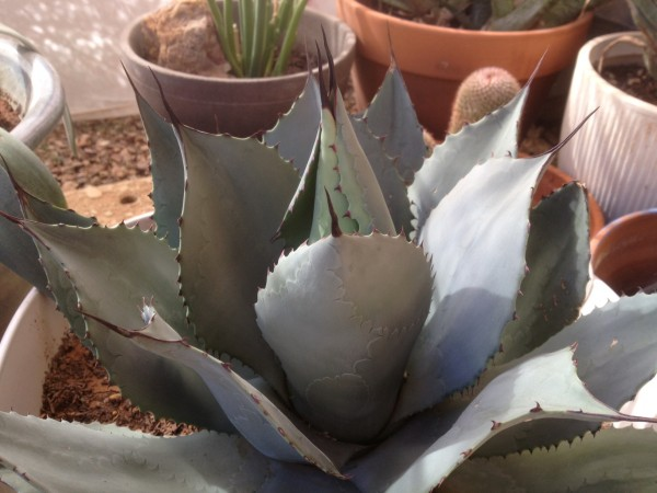 Agave parryi (Parry's agave)