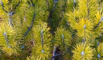 Mountain Pine (Pinus mugo 'Aurea Fastigiata')
