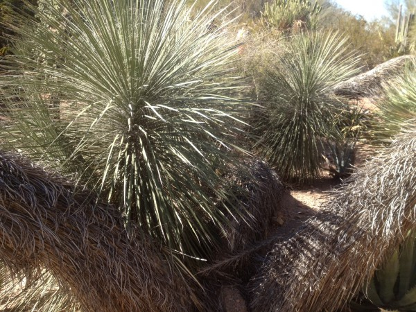 Yucca elata (Soap tree yucca)
