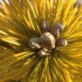 Pinus mugo 'Aurea Fastigiata' Feb 1,2013 candles