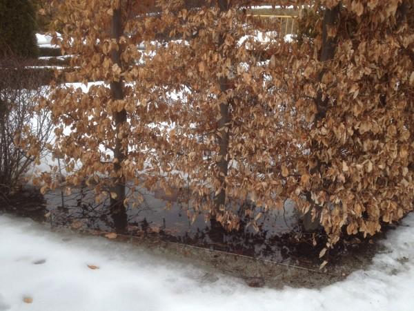 Beech feet in water Knot Garden March 8, 2013