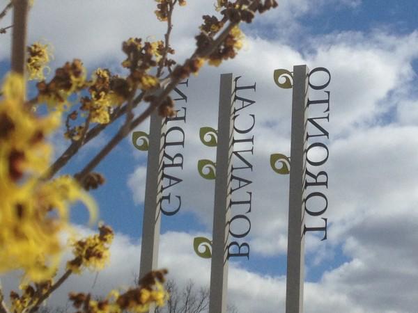 Hamamelis x intermedia 'Primavera' and the Toronto Botanical Garden