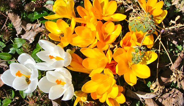 white and yellow crocuses
