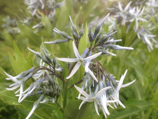 Amsonia 'Seaford Skies' in the Perennial Border