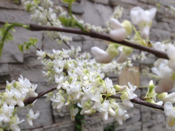 Cercis canadensis 'Alba' in the Garden Hall Courtyard