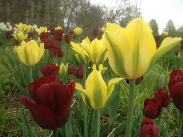Tulipa 'Jan Reus' with T. 'Yellow Spring Green'
