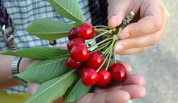cherries-flickr-the guenni