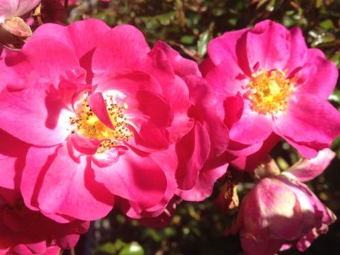 Rosa Sweet Vigorosa 'KORdatura'