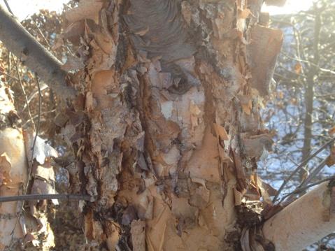 Betula nigra bark detail