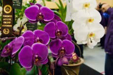Orchid enthusiasts could take photos of all the scenery at the event, like these purple beauties.