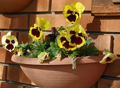 A balcony planter with yellow pansies freshens up a brick backdrop.