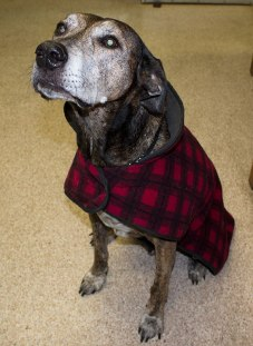 Charlie, who belongs to Dr. Craig Etherington of Morningside Pet Hospital, is already for winter in his plaid coat.