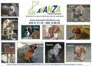 Perros para adopción de Avanza Torrelodones 13-1-2012