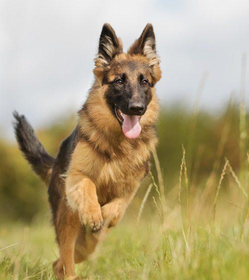 Medium Of German Shepherd Pictures