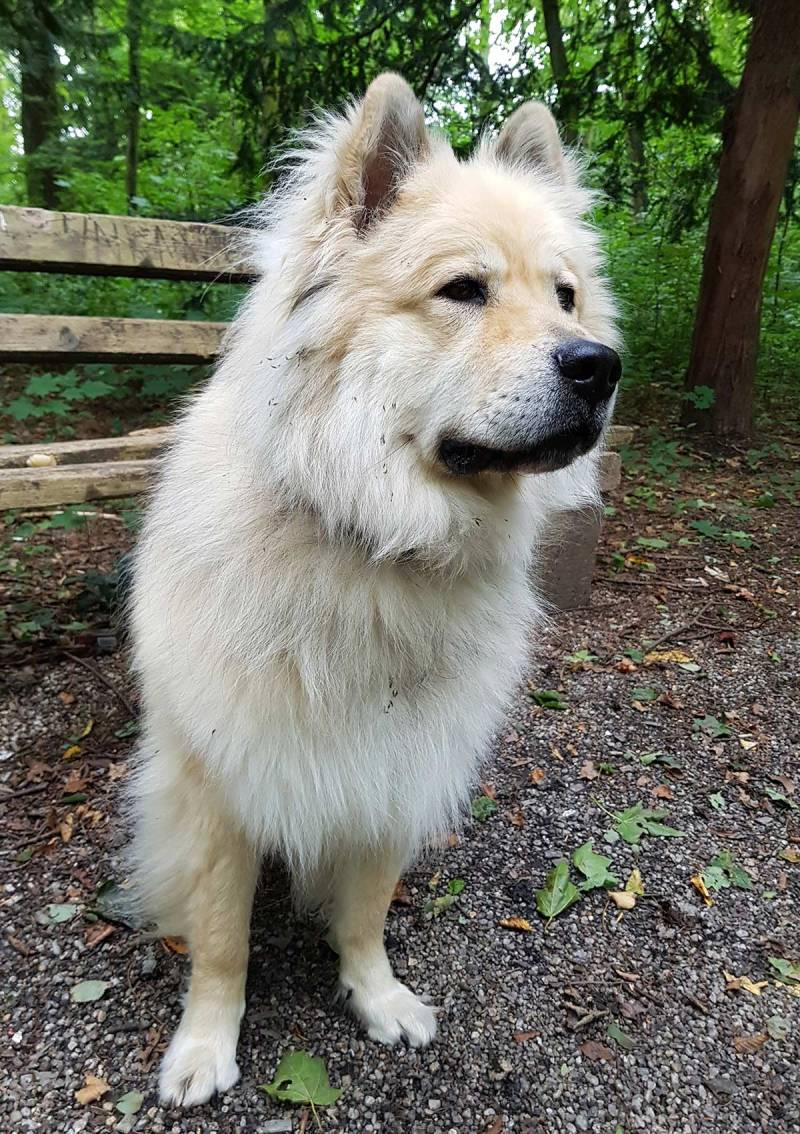 Large Of Chow Husky Mix