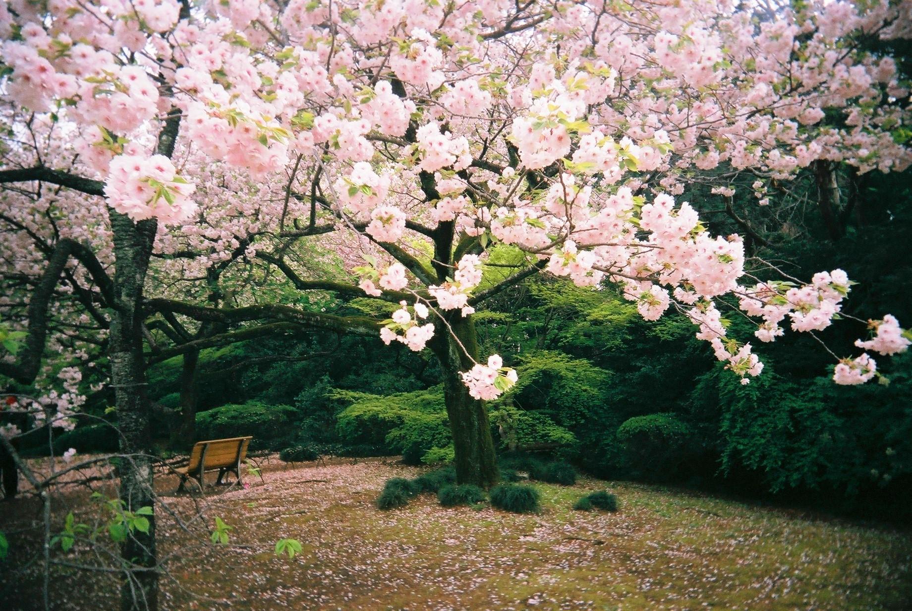 Wallpaper Pemandangan Bunga Sakura