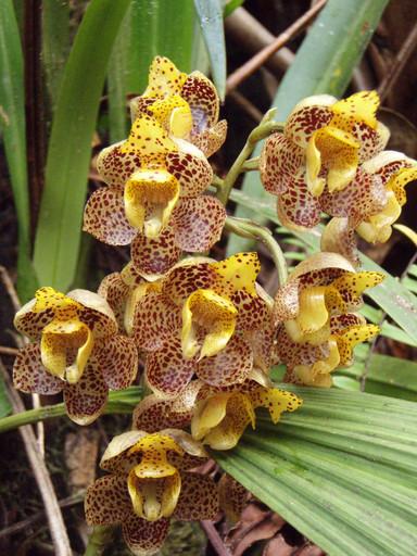 orquideas Roraima