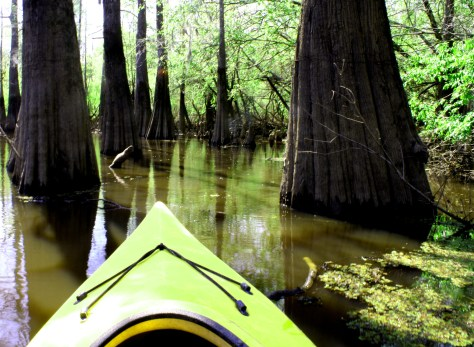 A kayaker can easily lose her way in the labyrinth of the Big Thicket's cypress-tupelo swamps. (Tracy L. Barnett photo)