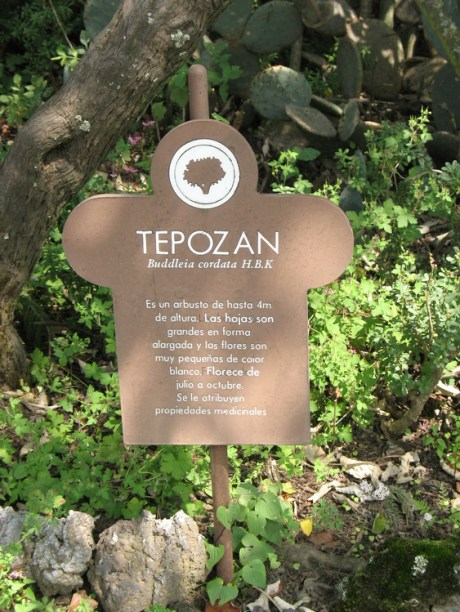 Tepozan is being reintroduced for its fast growth and soil regeneration capacity.