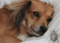 Can Dogs Get Bed Bugs: Gross Right? - TrainThatPooch.com