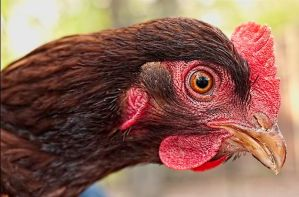 A Rhode Island Red Chicken