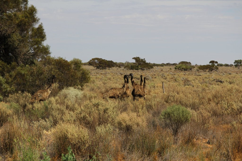An absolutely terrible photo of some wild emus.