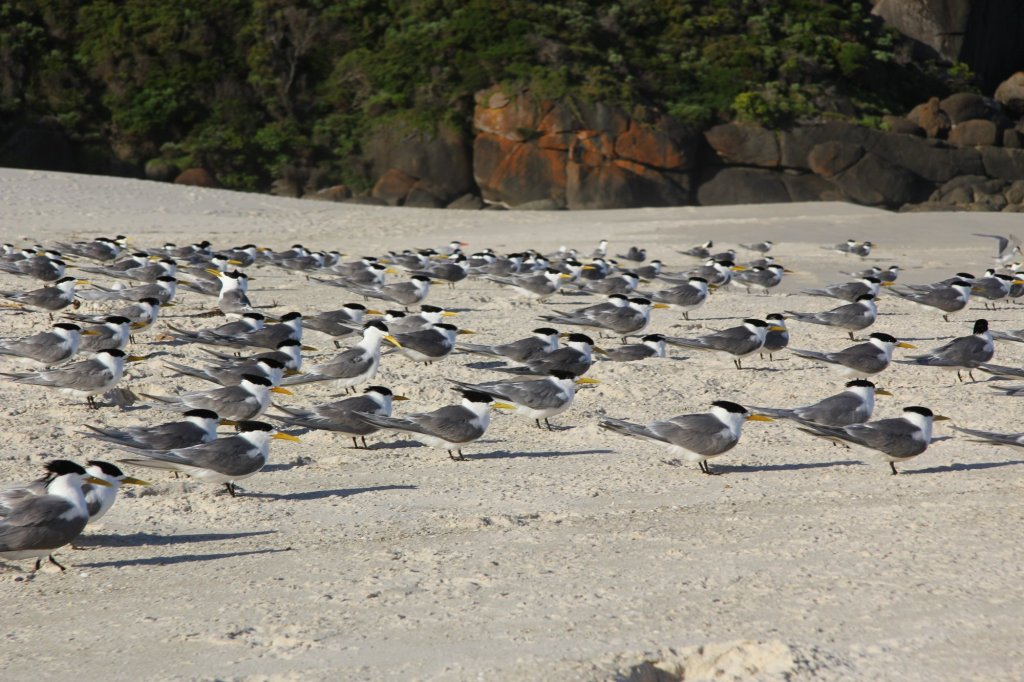 See I think these are Terns.  But I'm not sure why I think that.  I'm sure a twitcher out there will correct me.