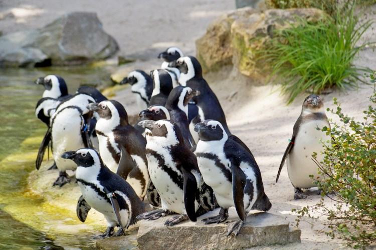 Die Pingus warten auf Futter